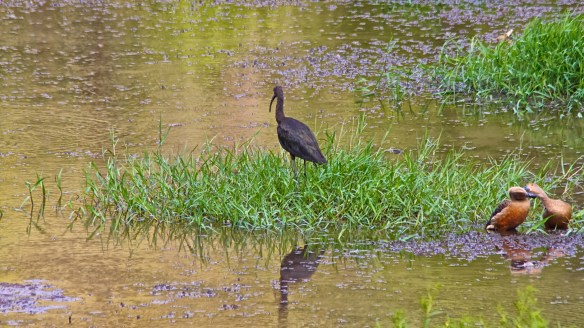 Glossy Ibis, Pilerne Lake, North Goa