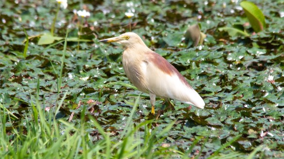 Indian Pond Heron, Pilerne Lake, North Goa