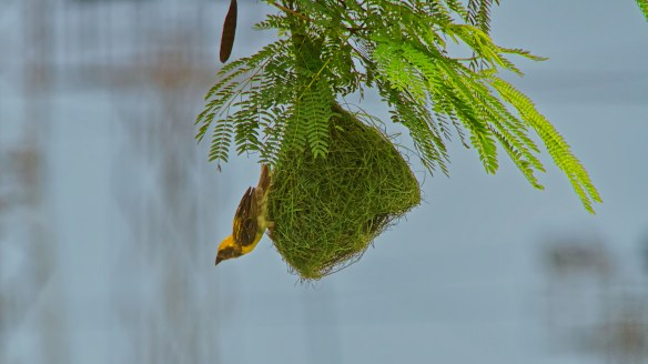 bays weaver bird