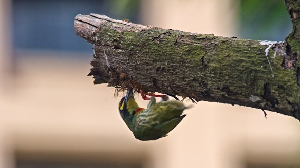 copper smith barbet making its nest