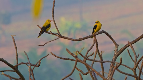 golden orioles on tree