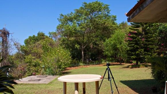 Gunpowder tree (Trema orientalis), the largest tree in the background