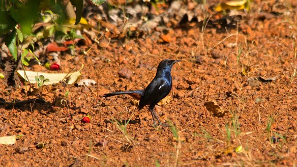 Indian Robin, male