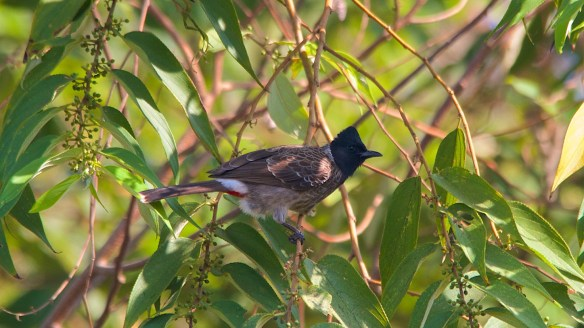 Red vented bulbul feasting on berries of the gunpowder tree