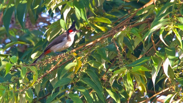 Red whiskered bulbul with gunpowder berry
