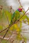 plumheaded parakeet
