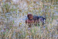 Feruginous duck