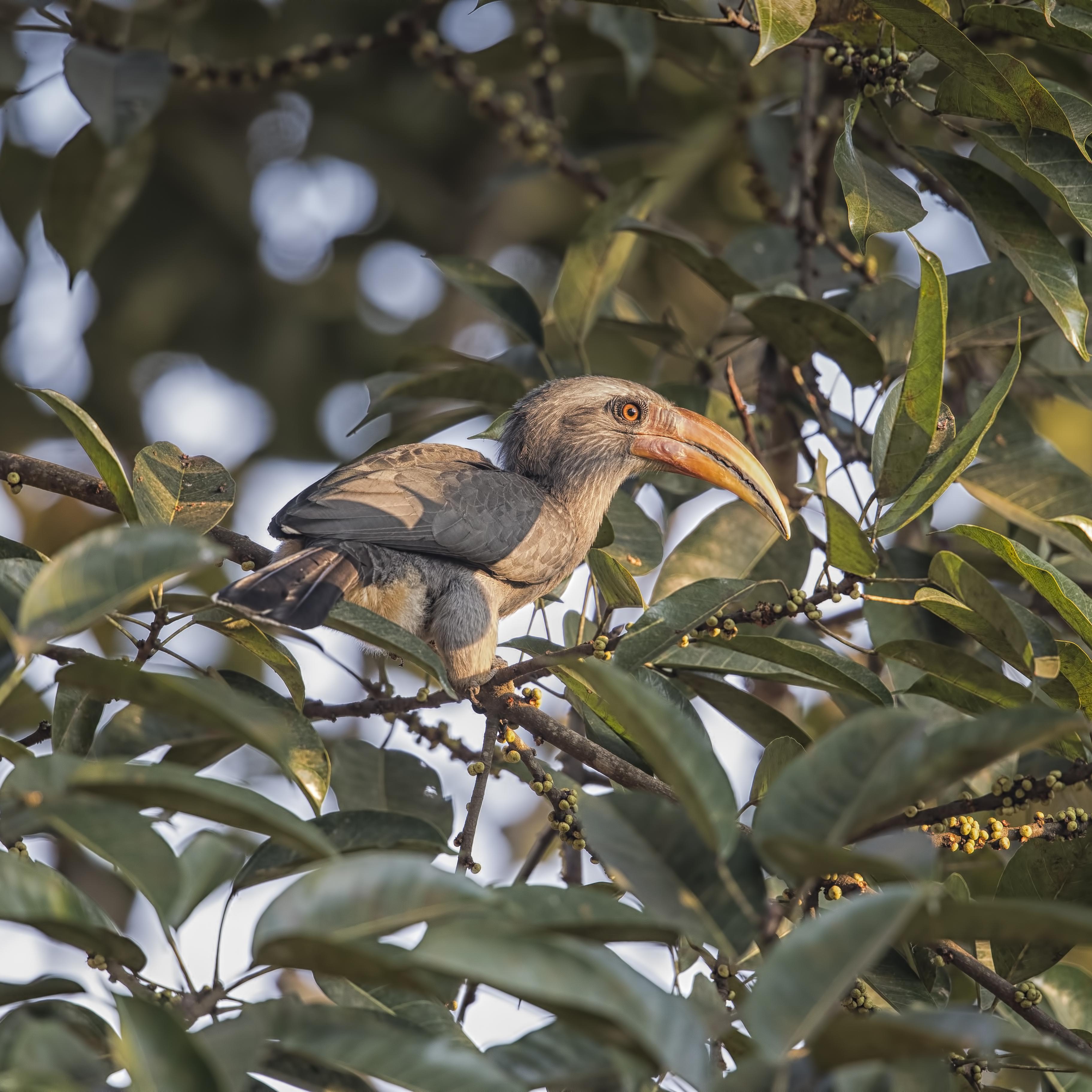 hornbill malabar grey