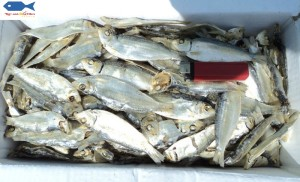 dries herring