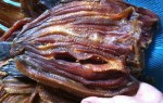 Dry snakehead fish – buy dried fish snake where delicious