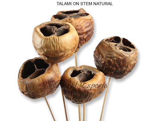 Talami Natural On Stem - Bulk Dried Flowers Suppliers India