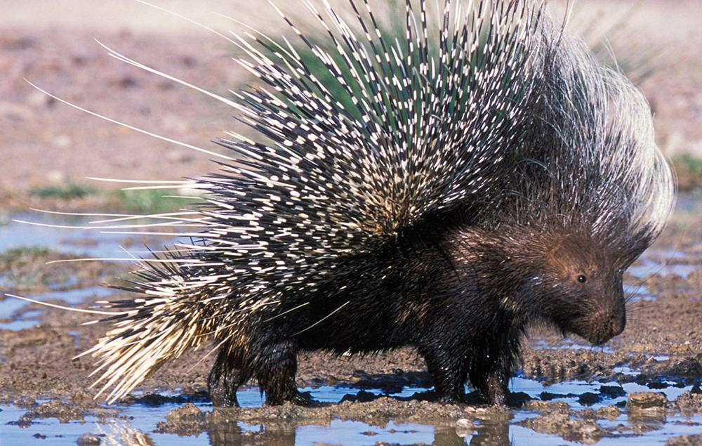 Porcupine at water {Hystrix africaeaustralis} Damaraland, Namibia