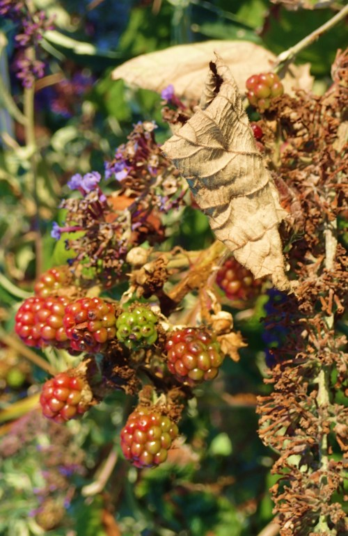 Blackberry season began in July, with a little rain at the right time it'll be a bumper crop