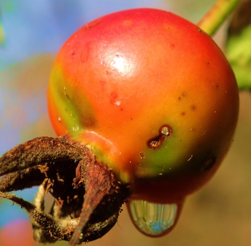A rose hip. These seed pods are often used to make a Vitamin C-rich tea.