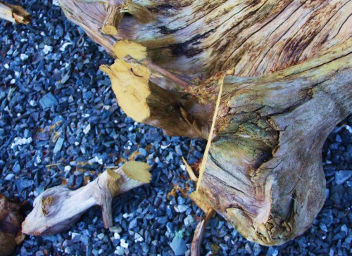 The Root Source A twisted piece of yellow cedar, perfect for a bowsprit cap.