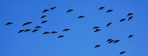 Off to Mexico! Sandhill Cranes are migrating southwards by the hundreds