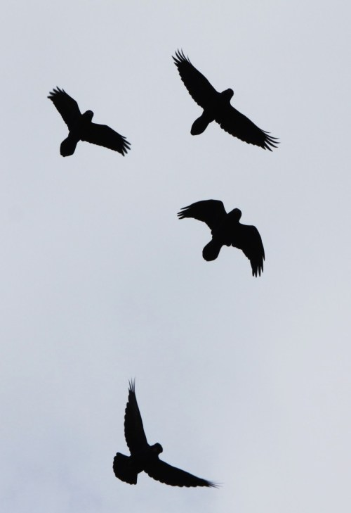 This gang of ravens followed me everywhere I hiked. Their aerobatic skills and amazing vocabulary kept me spellbound