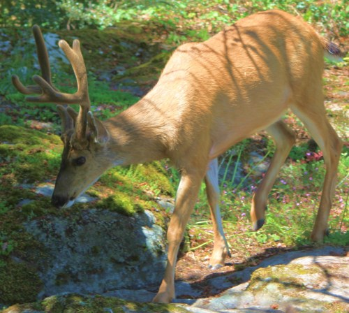 BUT IT'S BAMBI! The enduring legend of the urban deer.