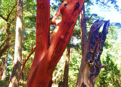 Arbutus smooth, near where the eagle was found.