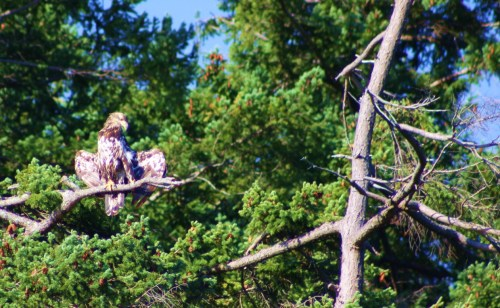First I put my right wing in, then I stick my left leg out. A juvenile eagle soaks up the morning sun in Anderson Bay