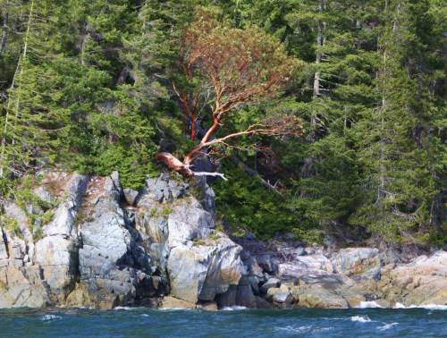 The Last Arbutus Consensus among coastal mariners recognizes the old tree as being the most northerly growing on the coast. It sits at the bottom of Wellbore channel. How old is it? What has it seen?