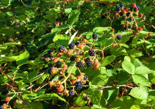 The abundance of berries continues