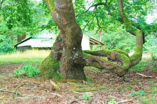 A scene from the old farm on Valdez Island. I could faintly hear children's voice playing around the tree.