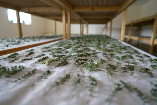 Drying the Botanicals for The Botanist