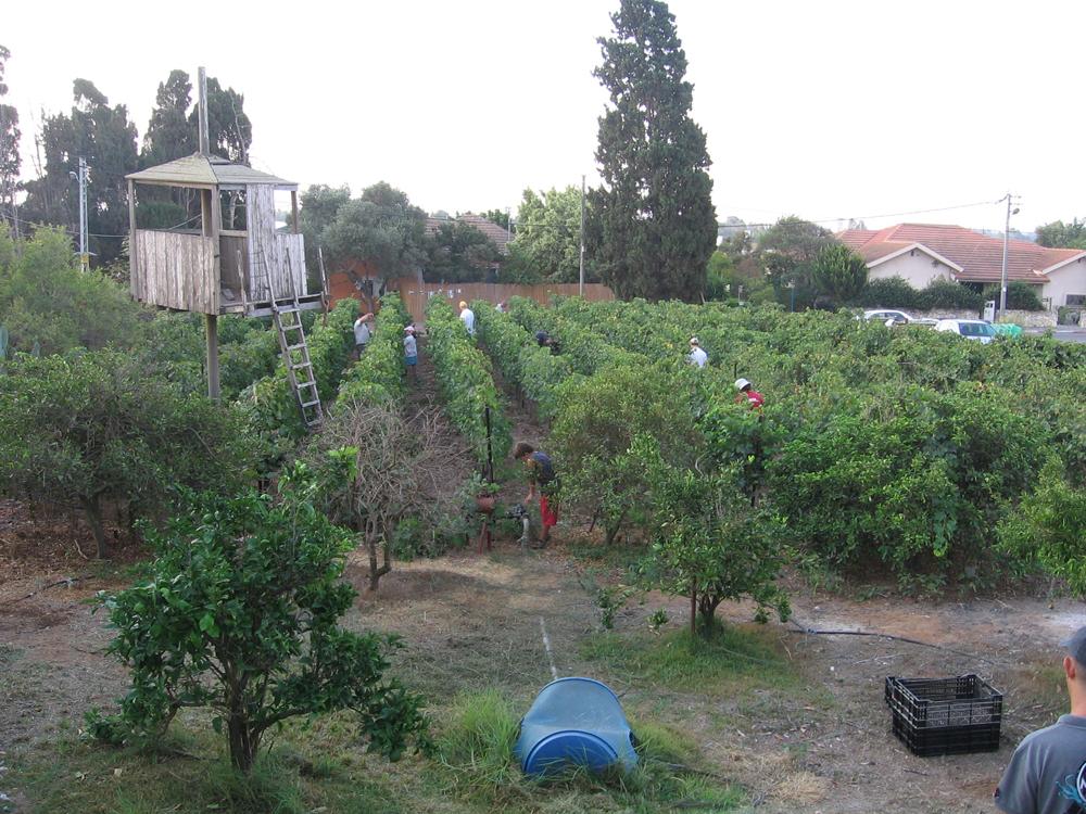כרם השיראז בחצר האחורית של יקב ויתקין
