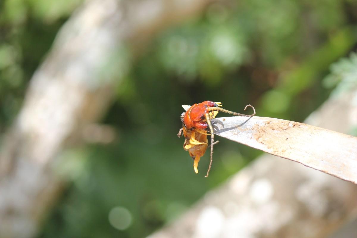 Dominican Centipede Head
