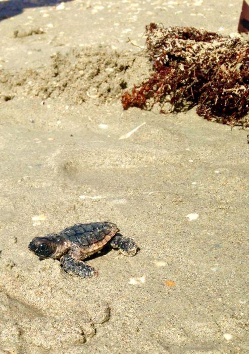 Jensen Beach Turtle Hatchings