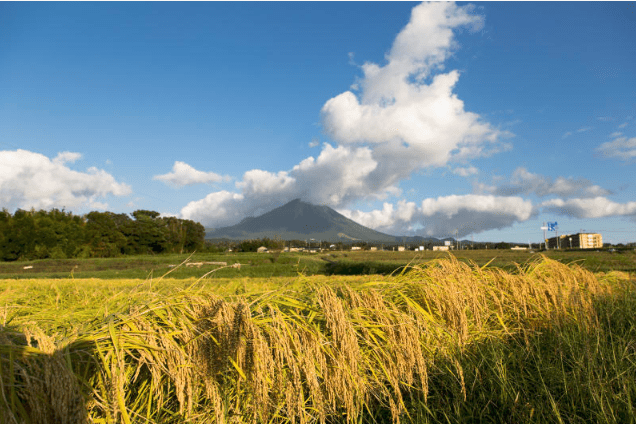Japanese sake rice fields in front of Mount Daisen, Tottori Prefecture