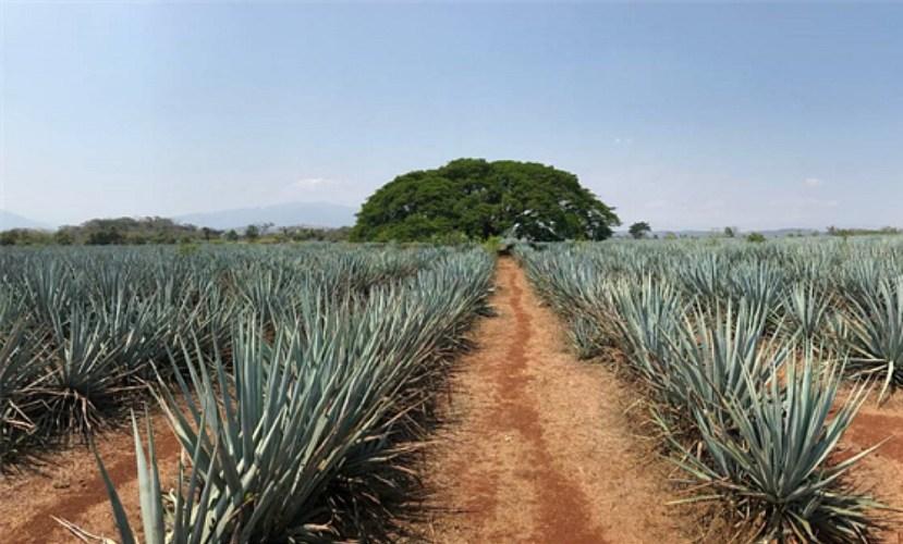 Agave Queensland; Australian tequila