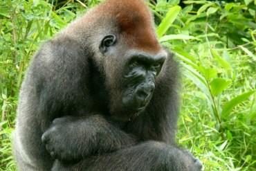 Dove vedere i gorilla in Congo