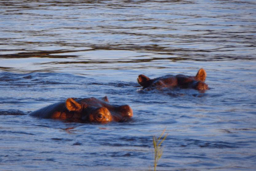 Ippopotami Zambesi