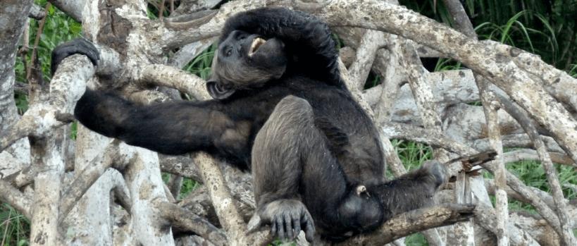 Scimpanzè Congo12
