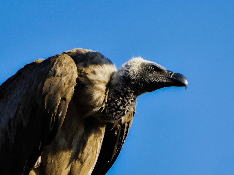 avvoltoio chobe