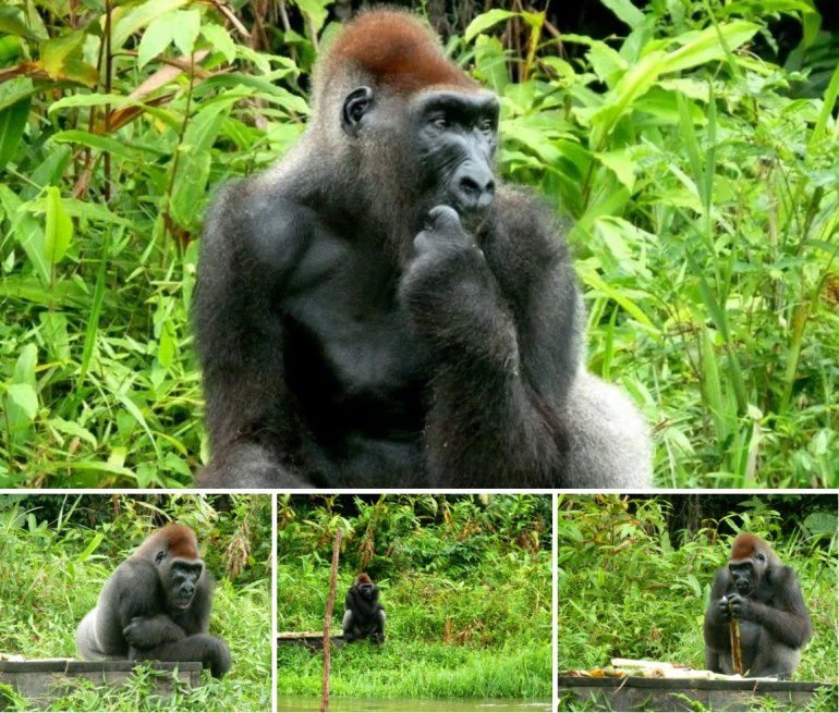 vedere i gorilla in Congo.