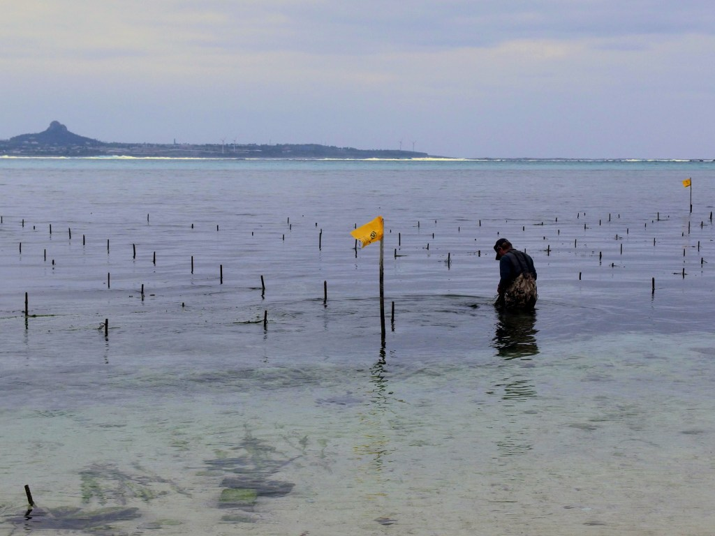 Cultivating Aosa Seaweed, Bise