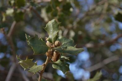 Scrub oak.