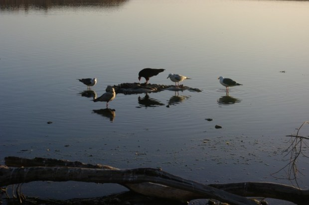 Gulls and a vulture chowing on a seal.