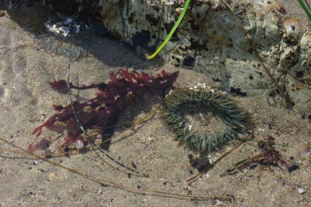 A sea anemone.
