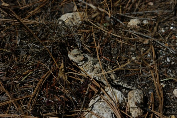 This lizard was sitting at an ant nest, slurping up the ants as they emerged.
