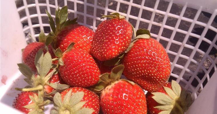 U-Pick Strawberries at Charleston's Boone Hall Farms