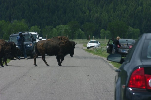 A buffalo jam. Someone pressed the lock button on their keychain and the buffs stampeded. Here's a tip: you're not in the mall parking lot.