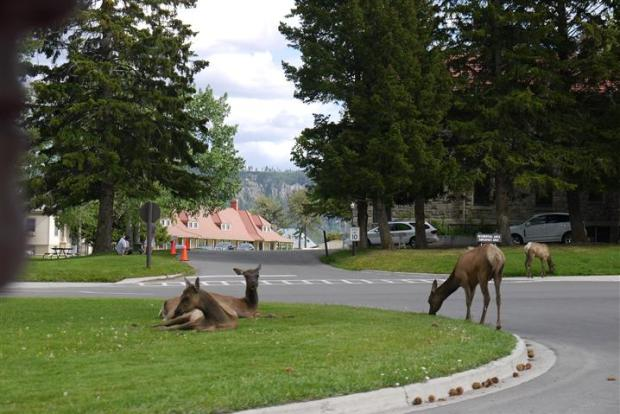 Elk just chilling in Mammoth.