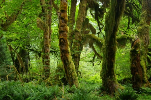 Mossy trees in Hoh Rainforest.