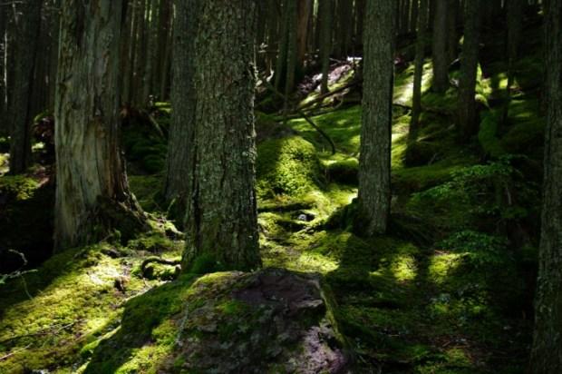 Hiking through mossy woods near Avalanche Lake.