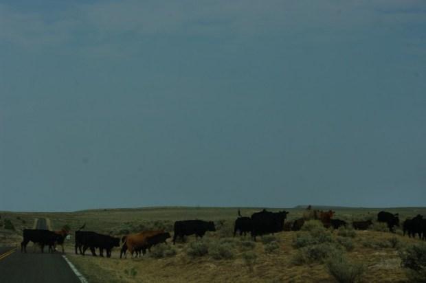 A real cowboy; real cows.