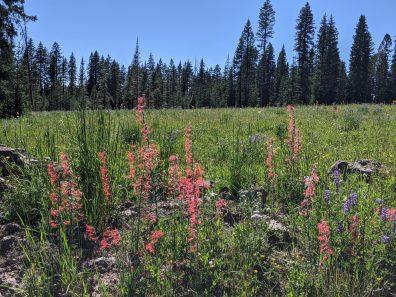 Wildflowers on Grand Mesa